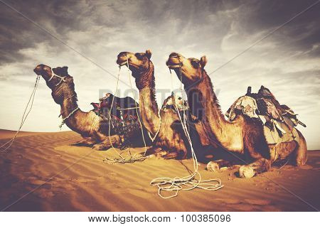 Camels Reating Desert Indian Culture Concept