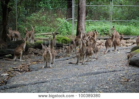 Mob of 'roos