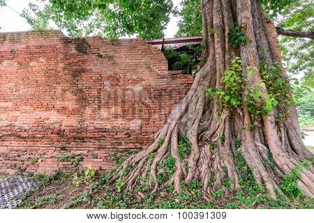 Parasite Tree At Wat Khun Inthapramun Public Temple In Thailand.