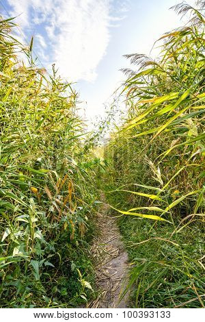 Path In The Reeds