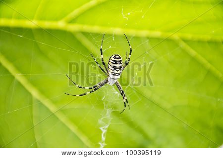 Argiope bruennichi Spider against a background green leaf