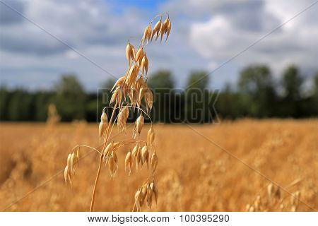 Ripe Oat Plant (Avena Sativa)