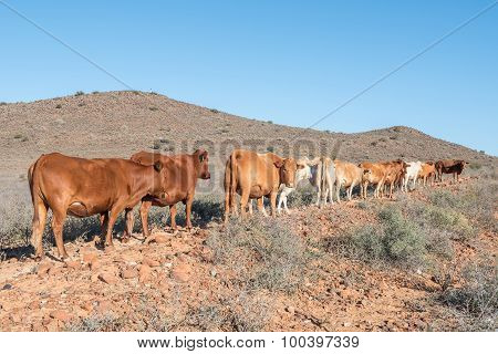Cattle In The Karoo