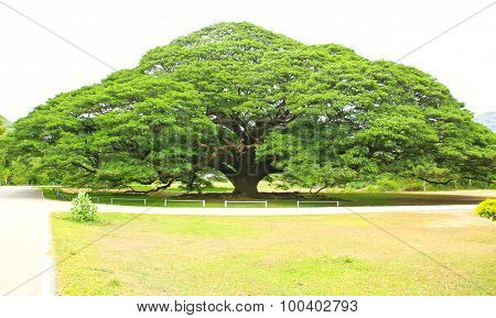 Largest Monkey Pod Tree In Kanchanaburi, Thailand