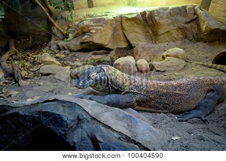 Lace Monitor Resting