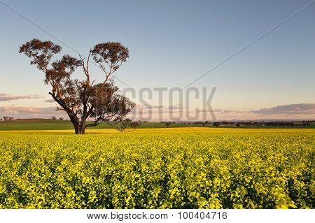 Canola Field At Dusk