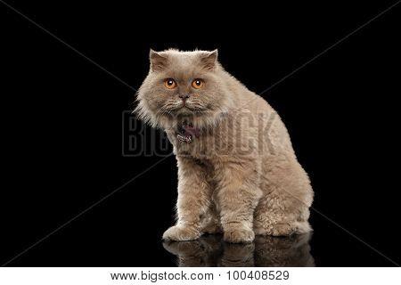 Closeup Scottish Cat Curiosity Looking On Black