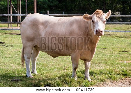 White Hereford Cow Side View