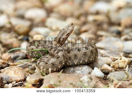 Beautiful Juvenile Nose Horned Viper