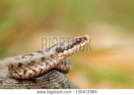 Closeup Of A Beautiful Vipera Berus