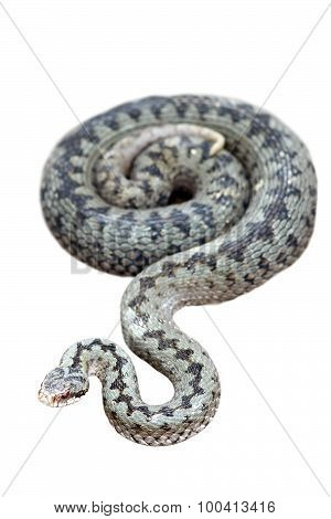 Common Adder Isolated On White