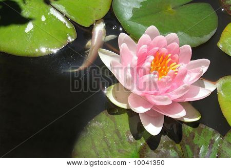 Goldfish And Waterlily