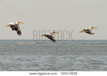 Pelicans In Flight Over The Sea