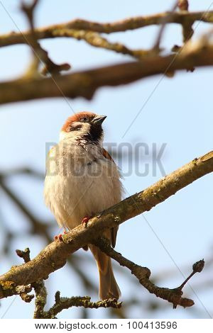 Proud Male Sparrow