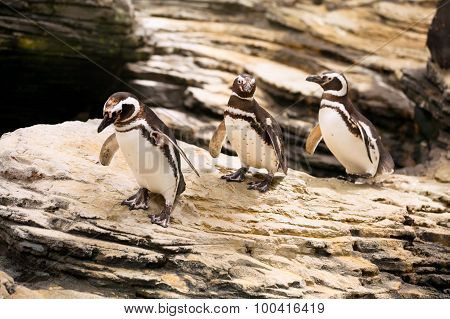 Three Magellanic Penguins Walking Over The Rocks
