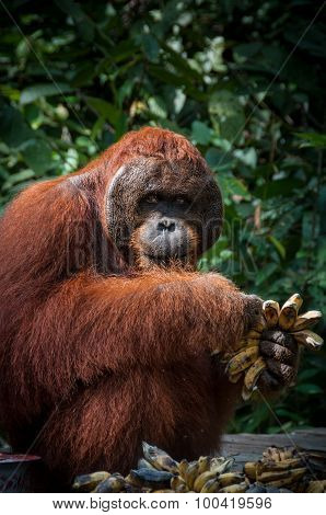 Orang Utan alpha male with bananas in Borneo Indonesia