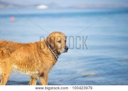 Brown Dog Think At Aegean Sea Beach