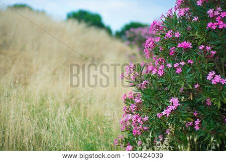 Blossoming Oleanders And Withering Grasses
