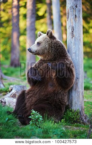Brown Bear In Relax
