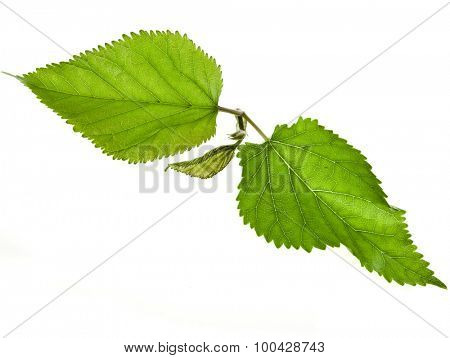 Mulberries  leaves Isolated on white background