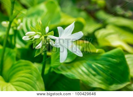 beautiful white flower blooming Hosta