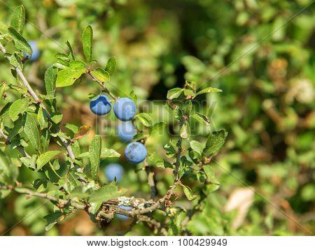 Backthorn Berries