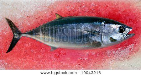 Thun Thunnus Thynnus Meeresfisch
