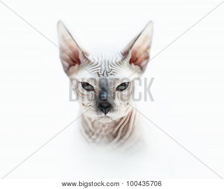Angry Sphynx Cat Full Face Portrait