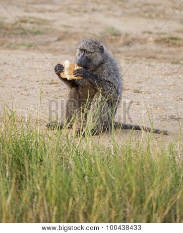 Olive Baboon eating