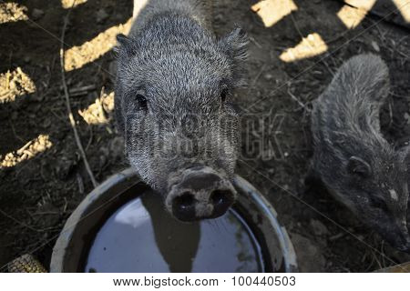 Thirsty Pig Feed On Traditional Rural Farm Yard, Young Vietnamese Piggy Looks At The Camera