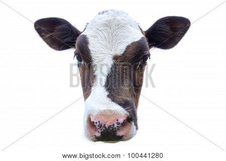 Isolated Calf Head