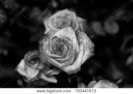 B&w Detailed Roses Closeup