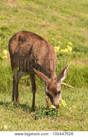 Blacktail Deer Doe