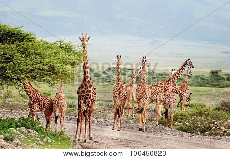 Wild Animals Of Africa, Herd Of Giraffes Crossing The Road.