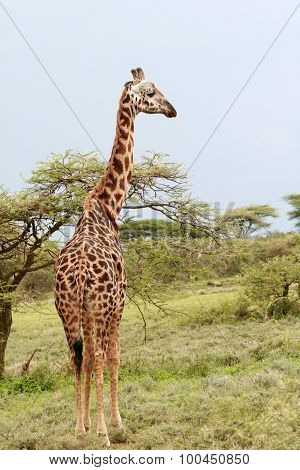Lone Giraffe Is Grazing On African Savannah In Bushes, Serengeti.