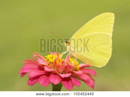 Gorgeous, brilliantly yellow male Cloudless Sulphur butterfly feeding on a red Zinnia flower against sunny summer green background