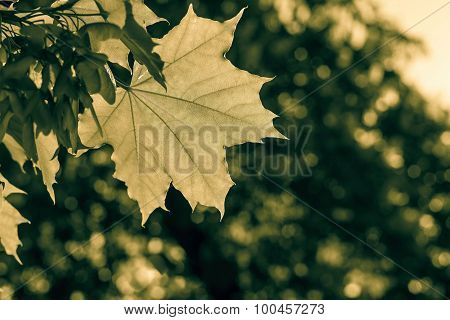 Leaf Maple In Beams Of Bronze Color