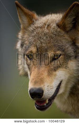 The Head Of A European Wolf