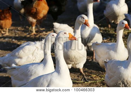 Flock Of White Domestic Geese On The Farm.