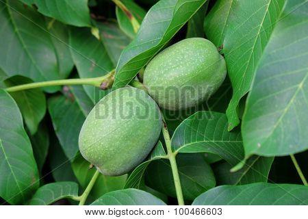 Branch of walnut tree
