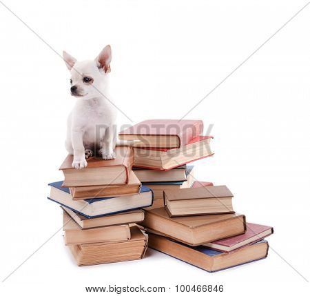 Adorable chihuahua dog on heap of books isolated on white