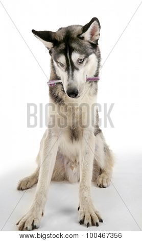 Beautiful huskies dog with toothbrush isolated on white