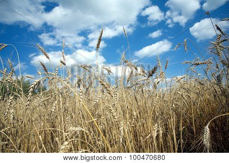 Rye field under blue sky on summer day closeup