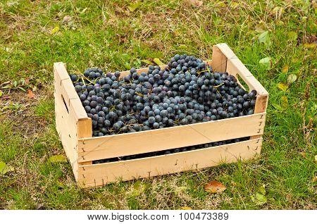 Cabernet Wine Grapes In Box