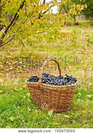 Merlot Grapes In Basket