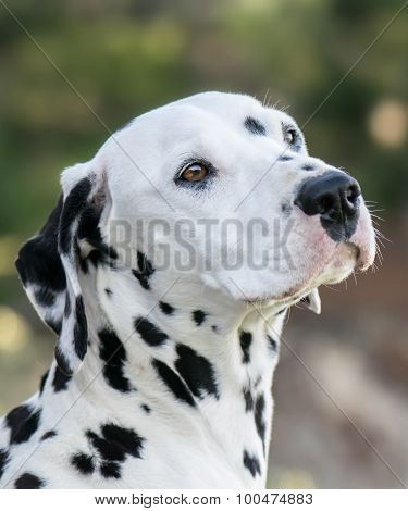 Beautiful Dalmatian