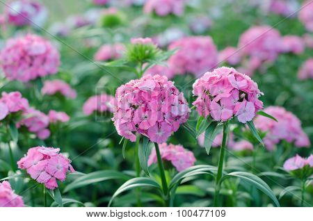 Dianthus Chinensis (china Pink, Sweet William Flower )