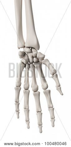 medically accurate illustration of the skeletal system - the hand