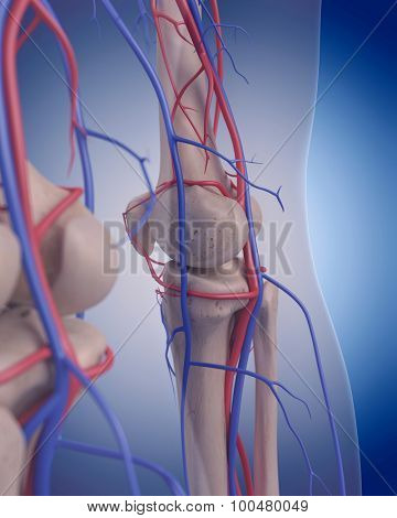 medically accurate illustration of the circulatory system - knee