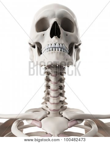medically accurate illustration of the skeletal system - the neck